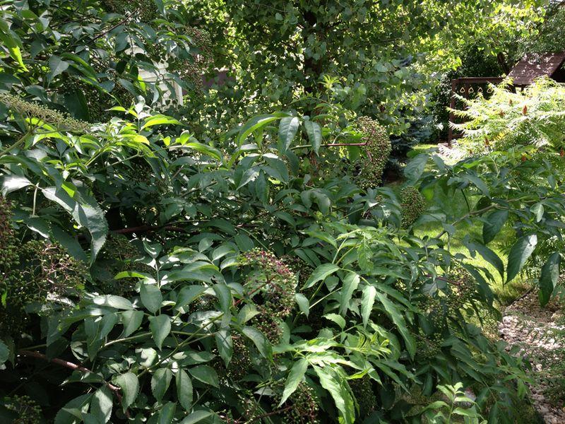 12--elderberry bushes